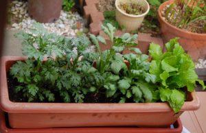 植え付け後の春菊とチマサンチュ